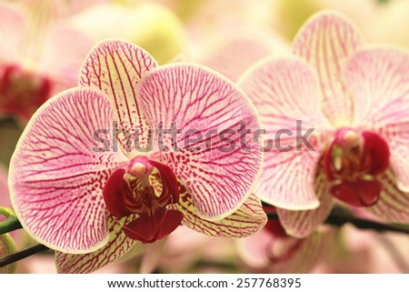 Phalaenopsis,Moth Orchid flowers,beautiful purple with yellow flowers blooming in the garden  - stock photo
