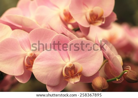 Phalaenopsis,Moth Orchid flowers,beautiful purple with yellow flowers in full bloom in the garden in spring - stock photo