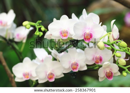 Phalaenopsis,Moth Orchid flowers,beautiful white with purple flowers in full bloom in the garden in spring  - stock photo