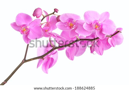 Phalaenopsis orchid branch isolated on white background