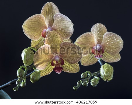 Phalaenopsis orchid in studio setting with background - stock photo