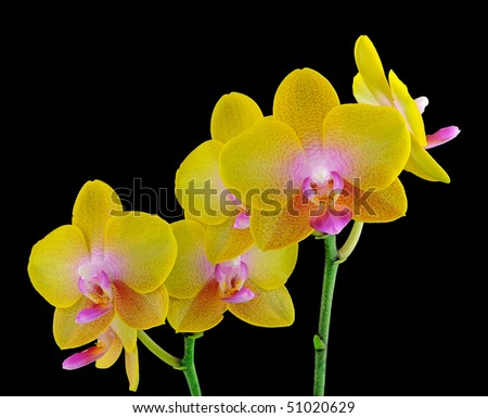 "Phalaenopsis Orchid orchidaceae ""black background"" exotic stunning colourful unique flower plant floral bloom - stock photo"