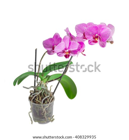 Phalaenopsis orchid with purple flowers on two stems in a transparent plastic flower pot on a light background