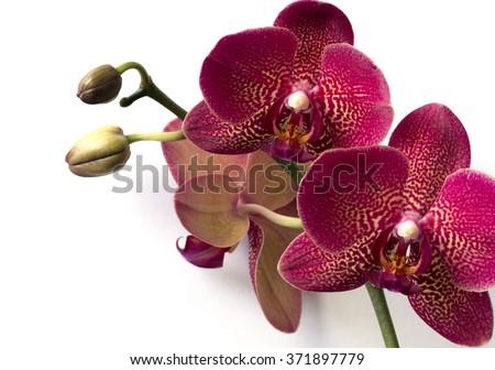 Phalaenopsis orchids on white background. - stock photo