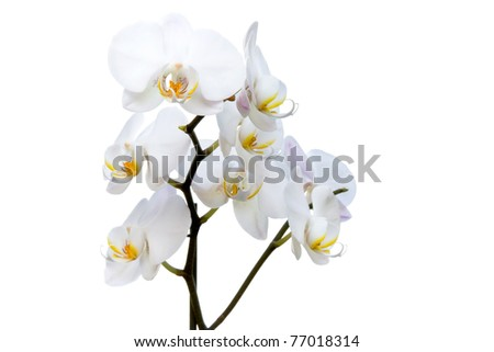Phalaenopsis - White orchid isolated on white background