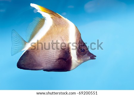 Phantom Bannerfish (Heniochus pleurotaenia) in Aquarium