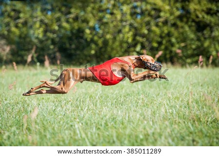 Pharaoh hound dog running on lure coursing competition - stock photo