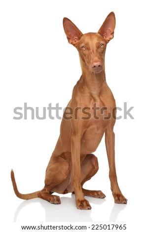 Pharaoh hound dog sits on white background - stock photo