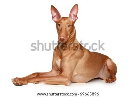 Pharaoh hound lying on a white background - stock photo