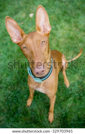 Pharaoh Hound sitting in the grass looking at the camera