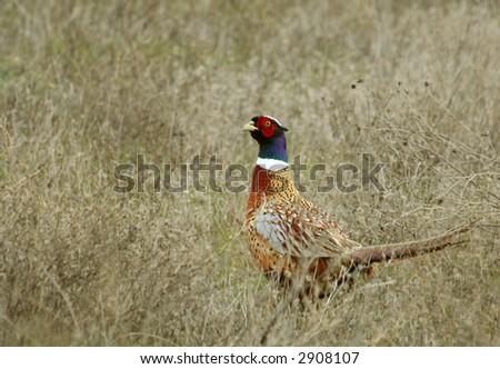 pheasant in brush - stock photo