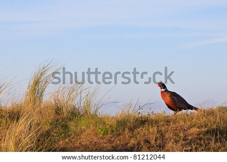 Pheasant male bird standing on a hill at sunrise - stock photo