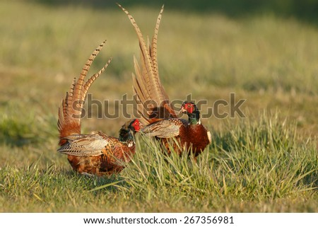 Pheasant males are fighting in during mating season  - stock photo