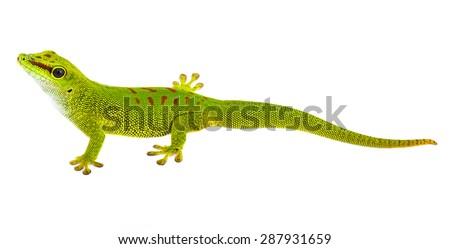 Phelsuma madagascariensis - gecko isolated on white - stock photo