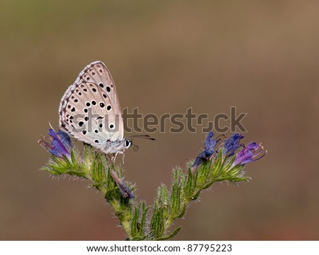 Phengaris arion butterfly (Large Blue) or Maculinea arion on a purple flower trying to walk over