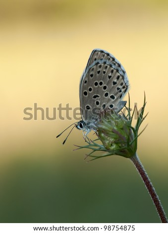 Phengaris arion butterfly (Large Blue) or Maculinea arion with great light as a sphere-catcher