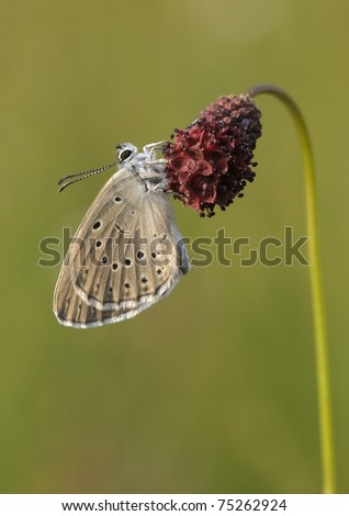 Phengaris teleius butterfly resting on on Sanguisorba officinalis