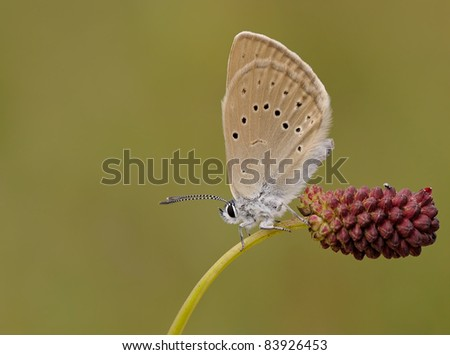 Phengaris teleius/Phengaris arion butterfly (Large Blue) with a great soft background sitting on the Scarlet Pimpernel