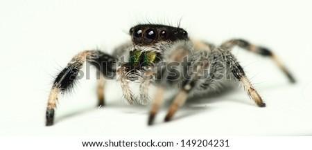 phidippus regius jumping Spider isolated on White - stock photo