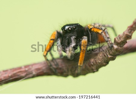 Philaeus chrysops - Jumping spider