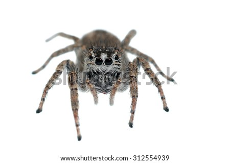 Philaeus chrysops jumping spider isolated on white.