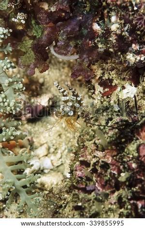 PHILIPPINES, Balicasag Island, U.W. photo, small tropical shrimps - FILM SCAN - stock photo