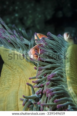 PHILIPPINES, Balicasag Island, U.W. photo, tropical Clawnfish on a Anemonefish - FILM SCAN - stock photo