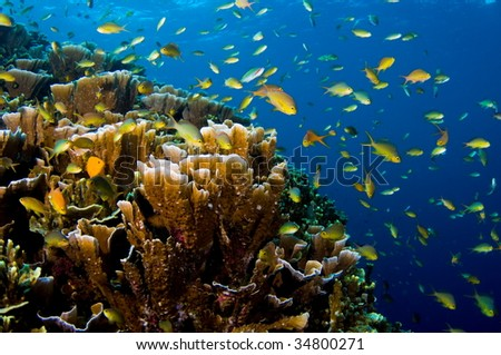 Philippines. Moalboal Island.Lighthouse dive site. anthias in shallow reef
