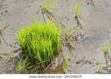 Philippines rice seedlings in rice paddy ready for the season's planting. - stock photo