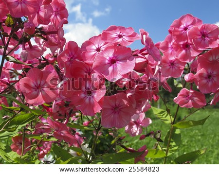 Phlox - stock photo