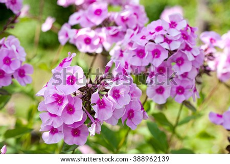 phlox flowers closeup on summer green leaves background - stock photo