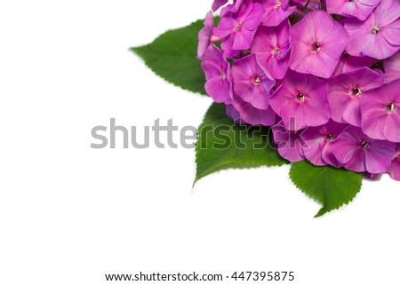 phlox flowers isolated  on a white background with space for text. - stock photo