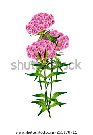 phlox flowers isolated on white background - stock photo