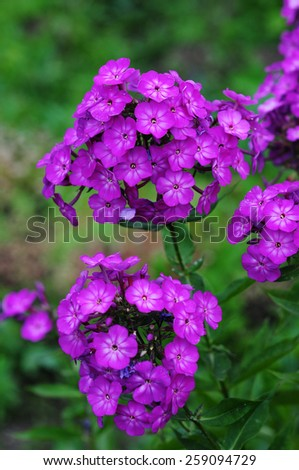 Phlox paniculata (Garden phlox) in bloom - stock photo