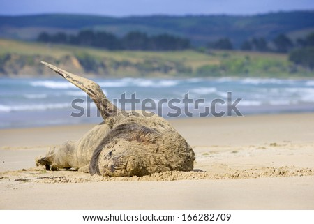 Phocarctos hookeri, Hooker's Sea Lion, young male on sandy beach basking in the sun, Surat Bay, Catlins, Southland, New Zealand - stock photo