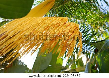 Phoenix roebelenii (Pygmy date palm) yellow bunch of flowers Shallow depth of field (DOF) - stock photo