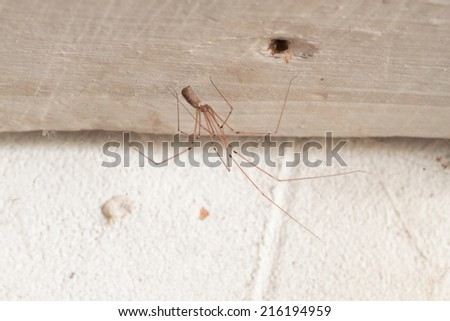 Pholcus phalangioides. Long legs spider. - stock photo