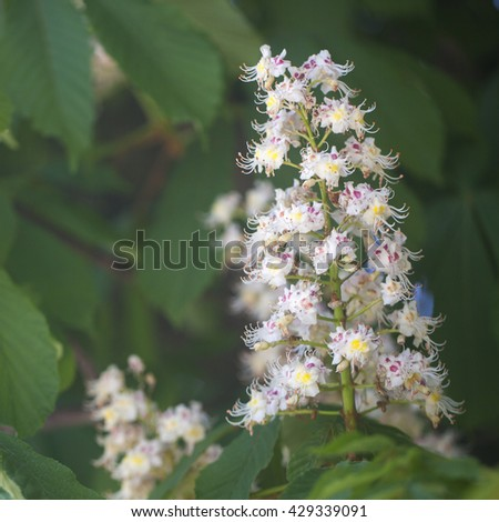 Photo beautiful blooming chestnut closeup