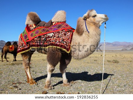 Photo camels against mountain. Altay mountains. Mongolia - stock photo