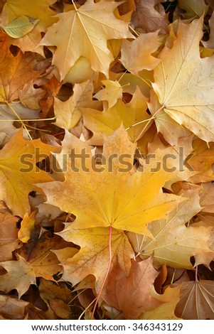 Photo closeup of autumn colorful yellow golden thick blanket of fallen dry maple leaves on ground deciduous abscission period over forest leaf litter background, vertical picture