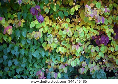 Photo closeup of beautiful autumn verdant hedge bushes trees with leaves changing color green yellow violet on lush fall heavy foliage background, horizontal picture - stock photo