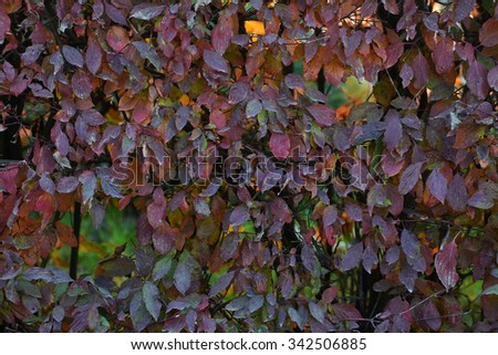Photo closeup of beautiful autumn verdant hedge bushes trees with leaves changing color green brown violet on lush fall heavy foliage background, horizontal picture - stock photo
