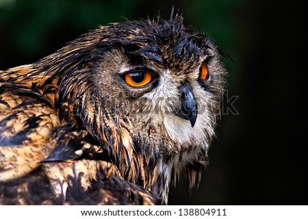 Photo closeup portrait eagle owl on green background