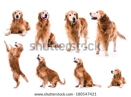 photo collage golden retriever in the studio isolated on white background - stock photo