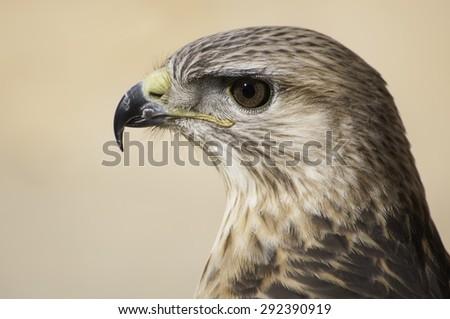 Photo desert hawk overlooking the sharp eyes - stock photo