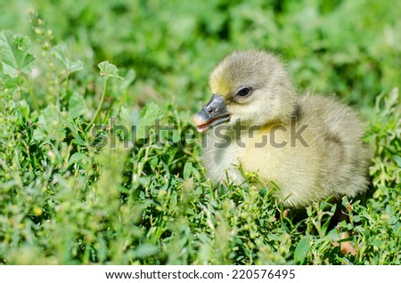 Photo goslings sunny summer day