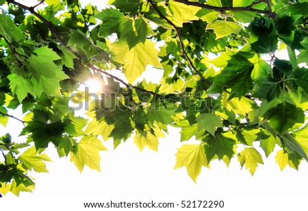 Photo green leafs of maple with sunbeam