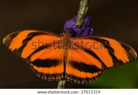 Photo of a Banded Orange Butterfly (Dryadula phaetusa). Common from Brazil to Central Mexico. - stock photo