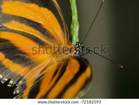 Photo of a Banded Orange Butterfly, Nymphalidae family, common through Brazil to central Mexico - stock photo