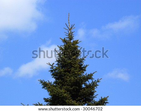 Photo of a beautiful fur-tree from below, on a background of the blue sky. - stock photo